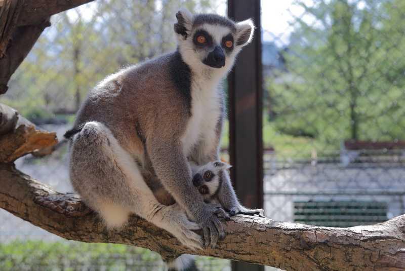 Лемури близнаци в зоологическата градина