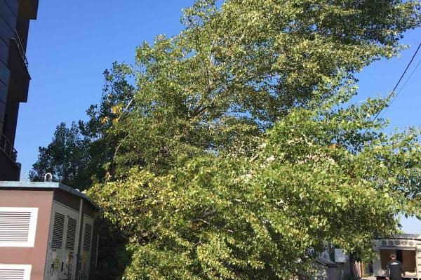 премахнато дърво