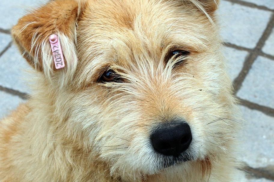 Герена, куче, отрова