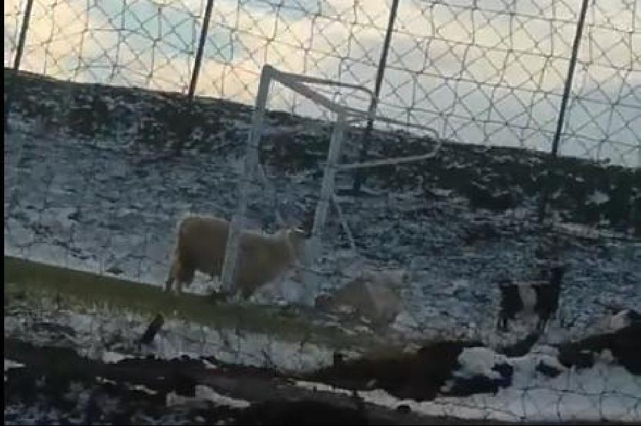 Овце пасат на новото футболно игрище в кв. Кремиковци