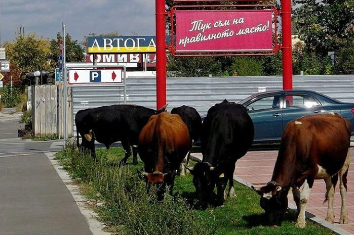 "Крави пасат пред хипермаркет в столичния ""Слатина"""