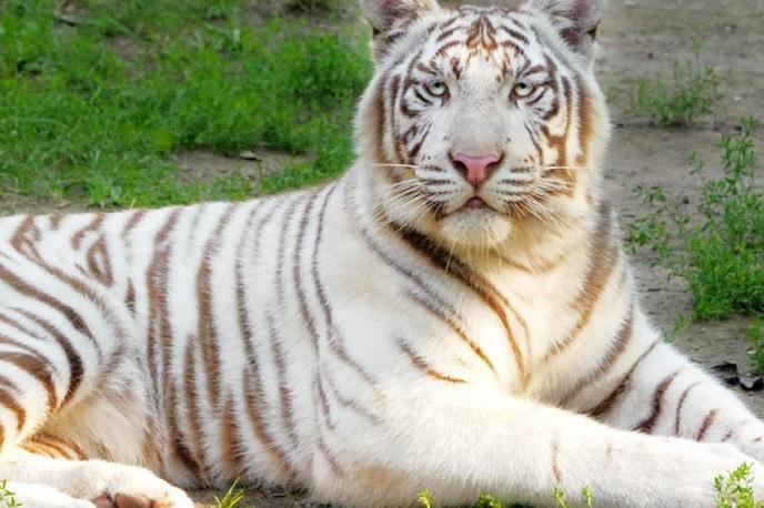 Белият бенгалски тигър стана супер атракция в столичния зоопарк