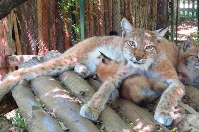 Столичният зоопарк се радва на две бебета евроазиатски рисчета
