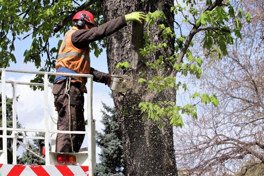 След бурния вятър в София: Акция за махане на опасни дървета