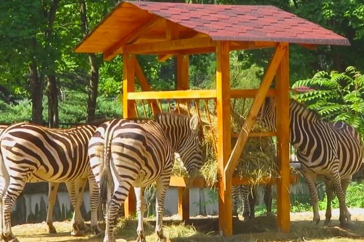 Зебри на Чапман от Берлин вече са в Софийския зоопарк