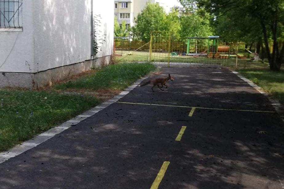 """Лисици се разхождат в детска градина в """"Люлин"""" 6"""