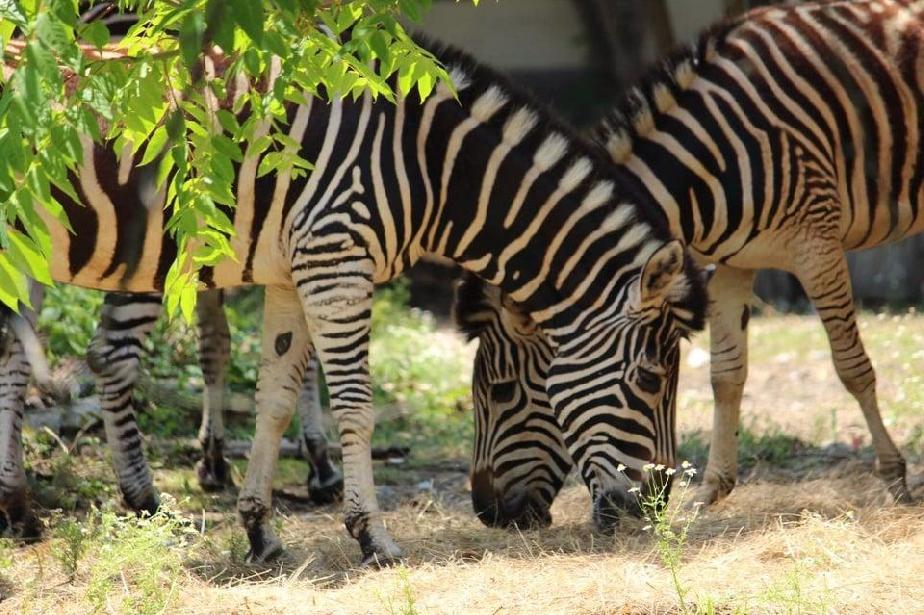 Софийският зоопарк се увеличи със стадо от 5 зебри
