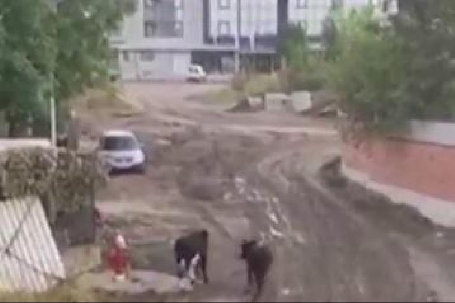"""Корида в столичния """"Лозенец: Бикове тероризират хората, чупят коли"""