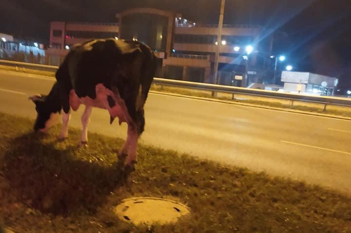 4 крави изскочиха на пътното платно на Околовръстното при колелолот за Драг