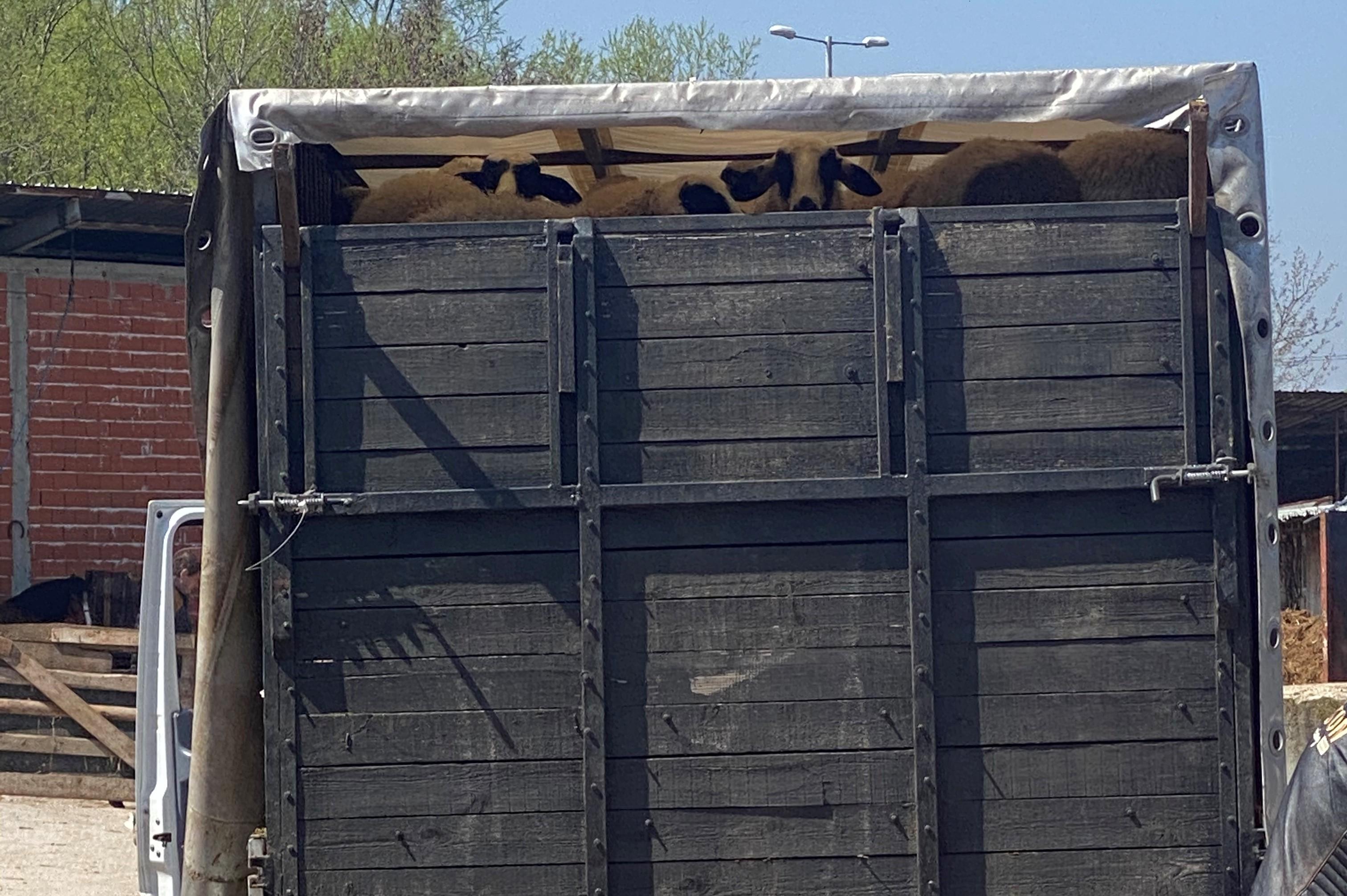 Полицията в Ихтиман залови шофьор, превозвал нерегламентирано 53 агнета