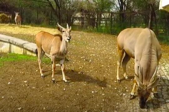 Ябълките са любимото лакомство на семейство антилопи кана в Софийския зоопа