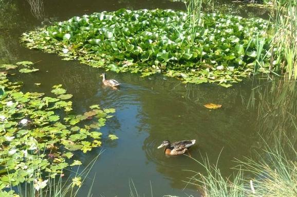 Лятна красота: Водните лилии в Южния парк цъфнаха