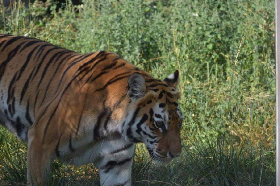 В Софийската зоологическа градина има нов сибирски тигър